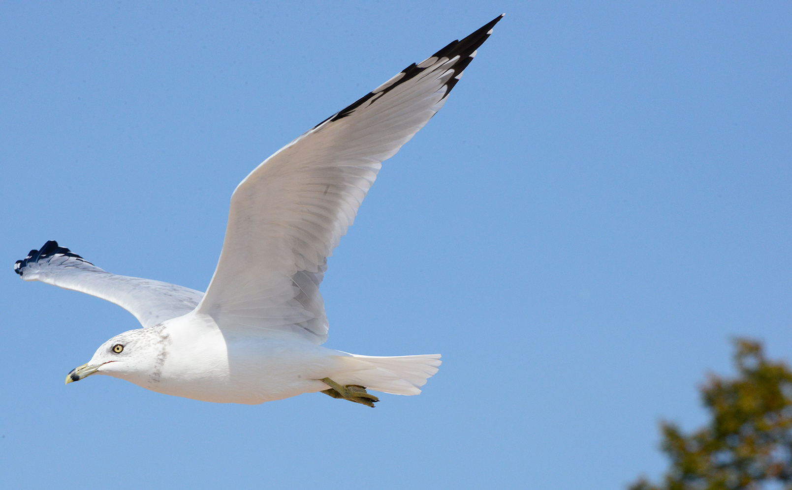 Ring Billed Gull In Flight