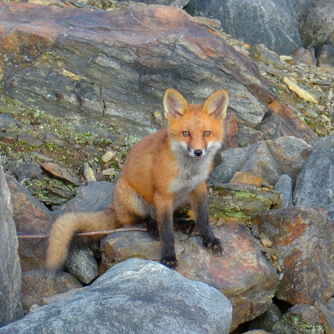 Picture of a Red Fox taken with a Nikon D7000 with a 300mm Zoom Lenss