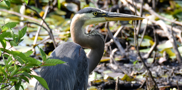Cropped Picture of a Blue Heron Taken with Nikon 200mm-500mm Lens