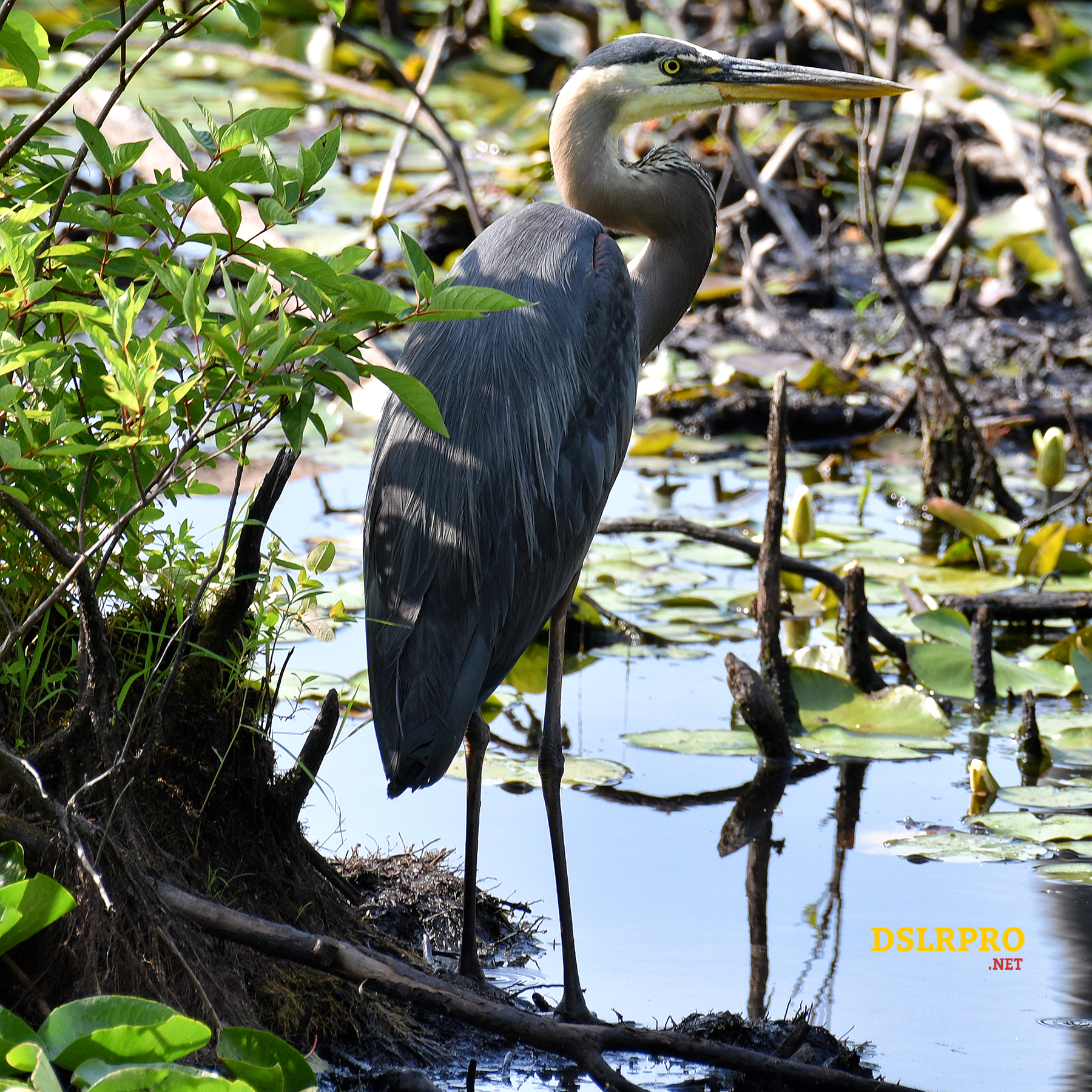 Picture of a Blue Heron Taken with Nikon 200mm-500mm Lens